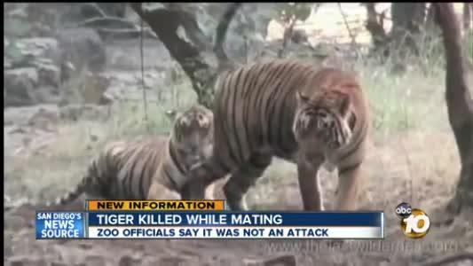 美国人与动物性交_美国圣地亚哥动物园的一头公虎22日咬死了动物园送来与它交配的母老虎