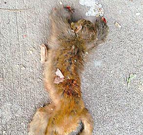 猴子疑遭虐杀被斩手脚 警方立案调查(图)