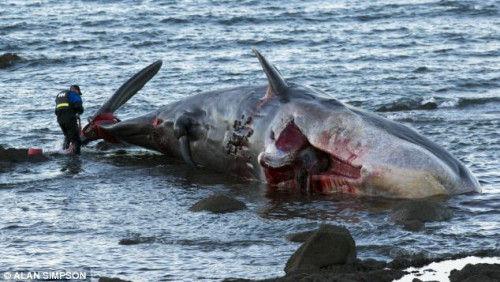 遭撞击死亡鲸鱼搁浅海滩 血流不止染红海水(图)