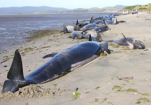 新西兰大规模鲸鱼搁浅 当局无计可施采取安乐死