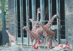 丹麦一动物园为防近亲结婚将长颈鹿电死喂老虎