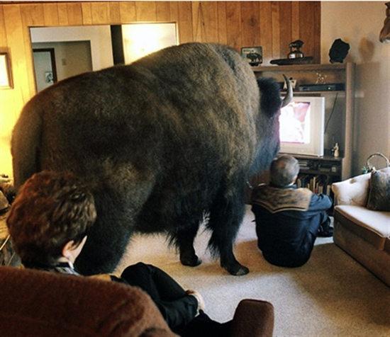 野生动物成宠物:牦牛看电视 海豹晒太阳(组图)