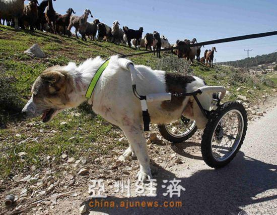 牧羊犬下半身中枪瘫痪 装轮椅为主人放牧(图)