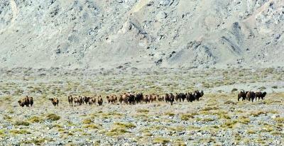 甘肃发现有记录以来最大野骆驼种群(图)