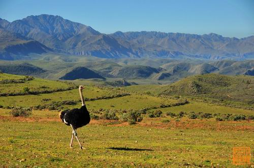 南非奥德舒恩:流行吃鸵鸟肉的地方