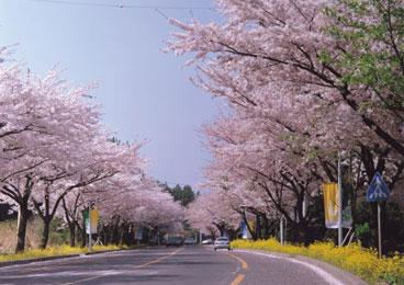 人间四月天 去韩国邂逅春花女王