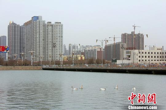 天鹅留恋新疆杜鹃河 比往年推迟半月飞离(图)
