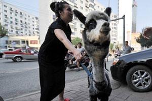 """【科普】一只羊驼价抵一轿车!被赞""""这狗真好看"""""""