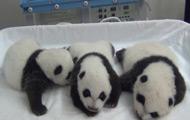 熊猫三胞胎宝宝开眼