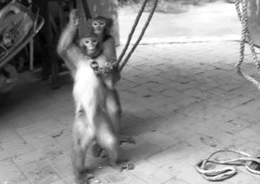 被审判的耍猴人