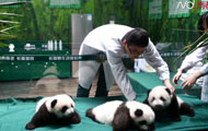 广州长隆熊猫三胞胎百日