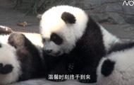 全球唯一大熊猫三胞胎母子团聚,再创动物繁育史奇迹