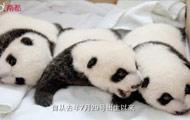 长隆大熊猫三胞胎半岁生日 获权威存活认证