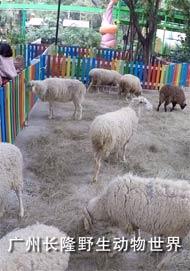 广州长隆全新羊园盛大开放 澳洲帅哥剪羊毛