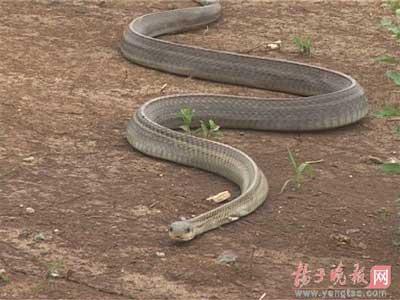 挖掘机挖到大蛇事件_工地挖死140岁金蛇精桓永高速挖掘机司机当