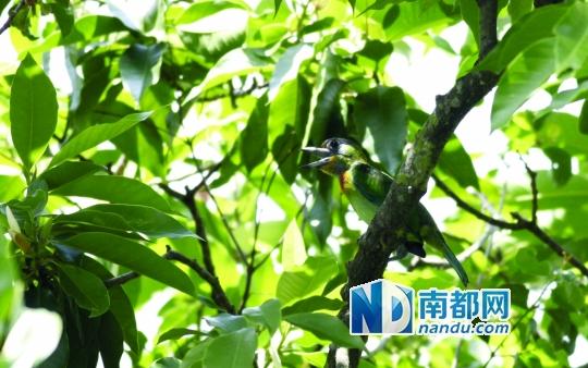 2013年罗浮山动植物科学考察报告谱系鸟篇     在神秘的罗浮山图片